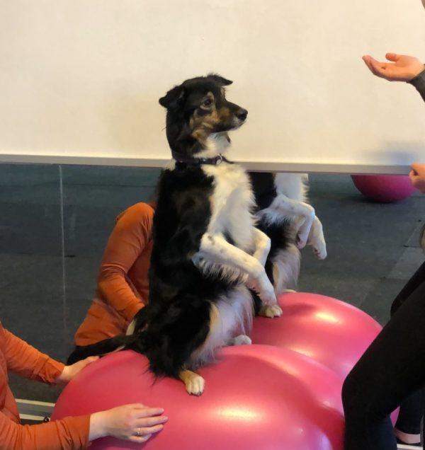 Balansboll hund